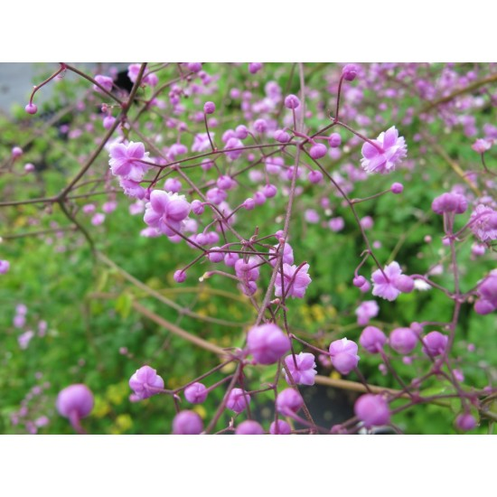 Thalictrum delavayi 'Hewitt's Double'. Chinese ruit.